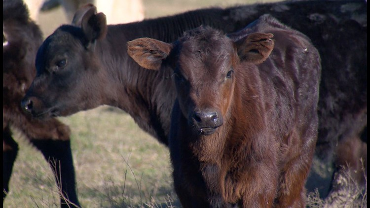 Texas livestock, crop losses expected to be 'in the millions' after winter storm