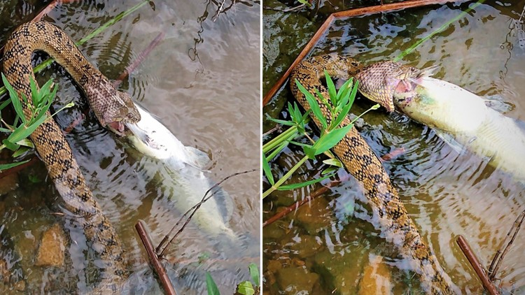 Incredible pictures of snake devouring fish remind us it's the time of year for snakes in Texas