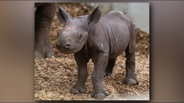 Cuteness overload! Baby rhino born at Cleveland Metroparks Zoo