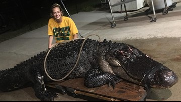 Massive gator trapped after wandering onto Florida interstate