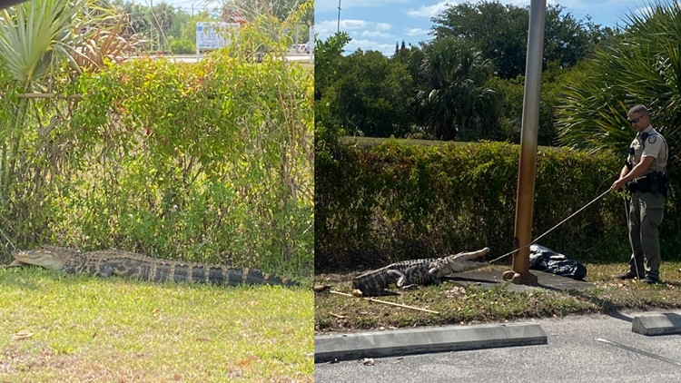 Florida gator captured after reportedly chasing people through Wendy's parking lot
