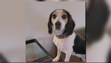 $10,000 reward offered after pet beagle found beheaded