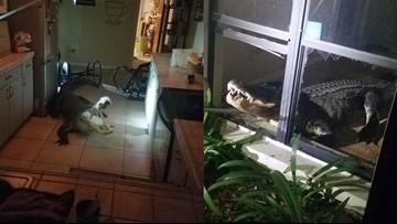 11-foot gator bursts through windows, into kitchen of Florida home