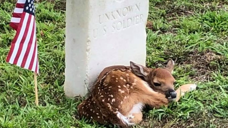 Fawn lays beside unknown soldier's headstone at Georgia cemetery