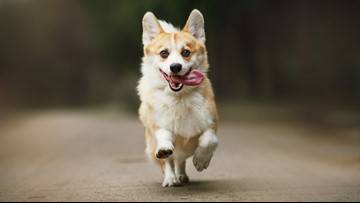 There's a corgi meet-up in Zilker Park this week