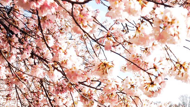Rising water levels are impacting cherry blossom trees in Tidal Basin, experts say