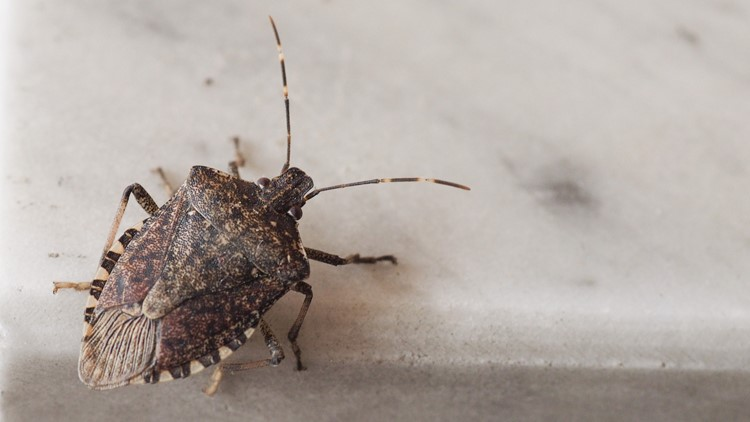 Experts warn of stink bugs as weather cools