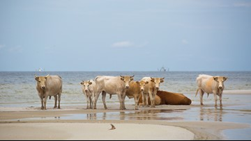 Cows cast away by Hurricane Dorian found alive on Outer Banks