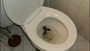 Python caught slithering out of Virginia Beach man's toilet!