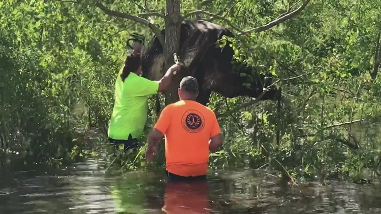 Video: Cow rescued from tree above floodwater in St. Bernard Parish