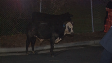 Cows roam the road after livestock tractor-trailer flips on I-285